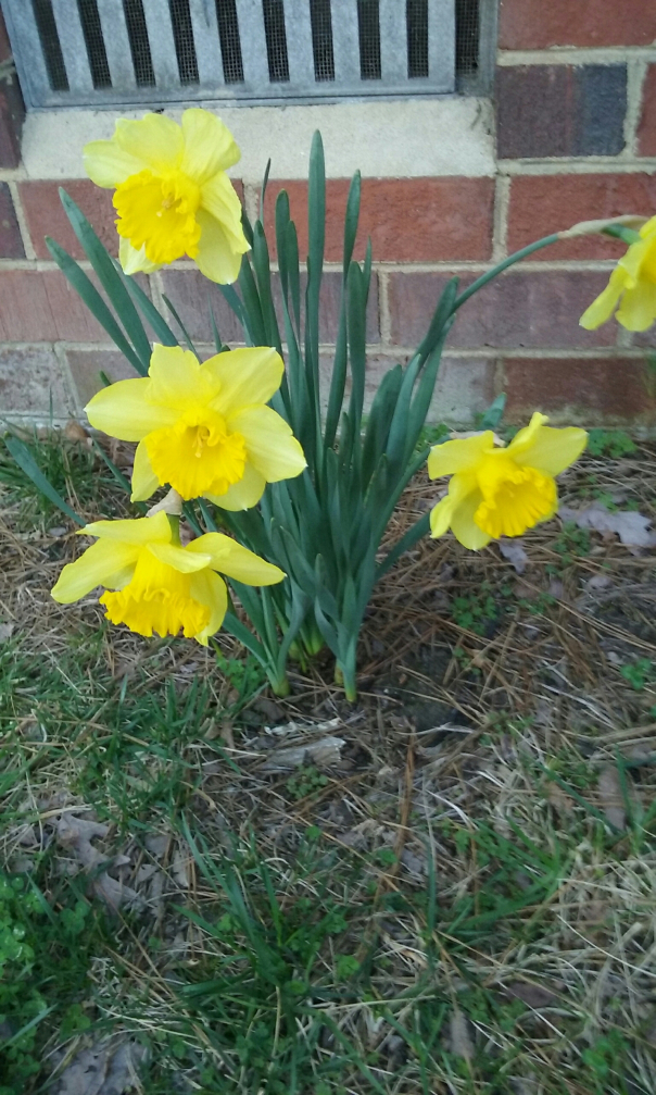 Daffodils-Photography